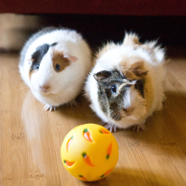 Mollie's Guinea Pigs